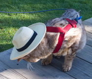 Cat in the Hat. Very old cat modeling his new straw cowboy hat on the boardwalk royalty free stock images