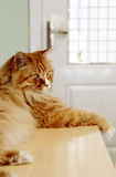 Cat having a rest. Cute yellow cat is having a rest on the table after lunch Stock Photo