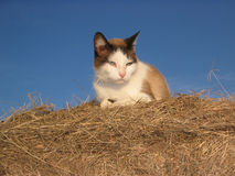 Cat in the Hay. Blue eyed ranch cat takes break from mousing duties, lying on top of round hay bale against blue sky on sunny afternoon, Texas Stock Images