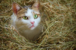 Cat in the Hay Royalty Free Stock Photography