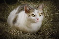 Cat in the Hay. Outbred Cat in the Hay Royalty Free Stock Photography