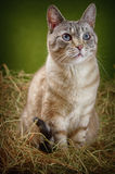 Cat in the Hay. Outbred Cat in the Hay Royalty Free Stock Image