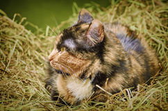 Cat in the Hay. Outbred Cat in the Hay Stock Images