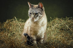 Cat in the Hay. Outbred Domestic Cat in the Hay Royalty Free Stock Photo