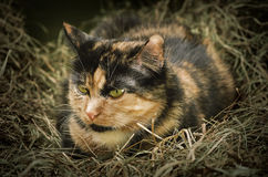 Cat in the Hay. Outbred Domestic Cat Resting in the Hay Stock Photo