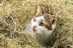 Cat In Hay. Outbred Cat With Green Eyes In The Haystack Stock Images