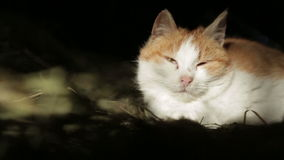 Cat in the hay stock footage