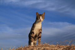 Cat on Haybale. Alert cat posing alertly on top of a haybale with blue skies behind royalty free stock photo