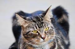 Cat Head Royalty Free Stock Photo