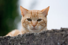 Cat head. Head of a red cat Stock Photo