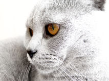 Cat head. High key effect with highlighted eyes Stock Photography