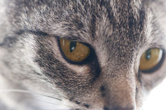 Cat head close-up Royalty Free Stock Image