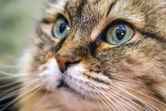 Cat head close-up. Head cat portrait close-up macro with blue eyes resting royalty free stock image
