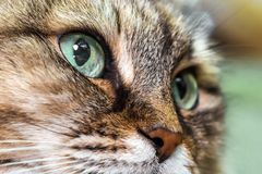 Cat head close-up. Head cat portrait close-up macro with blue eyes resting stock photo
