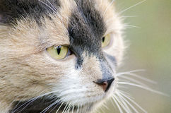 Cat head close-up. Cat head close-up with yellow eyes Royalty Free Stock Photo