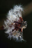 Cat head on a dandelion Royalty Free Stock Photography