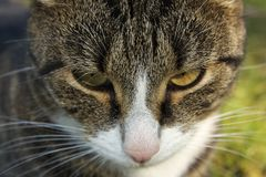 Cat. Head of grey-and Brown cat Royalty Free Stock Photos