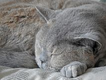 Cat head sleeping on her paw. Photo of a beautiful british shorthair cat resting her head on her paw as she sleeps march 2018 Royalty Free Stock Photography