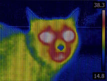 Cat Head Thermal Imaging. Fever Thermal Image of Cat Head Royalty Free Stock Image
