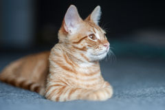 Cat head turned right Royalty Free Stock Images