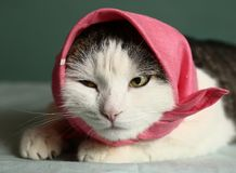 Cat in headscarf pink shawl close  up portrait. Cat in headscarf pink shawl kerchief close up portrait Stock Image