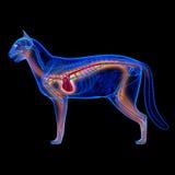 Cat Heart - Anatomie des Kreislaufsystem lokalisiert auf Schwarzem stockfotos