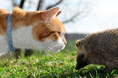 Cat and hedgehog Stock Photos