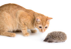 Cat and hedgehog Royalty Free Stock Image