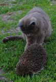 Cat, Hedgehog Royalty Free Stock Photography