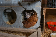 Cat and hen in a farmyard. Cat while accompanying a hen incubate an egg in a farmyard Stock Image