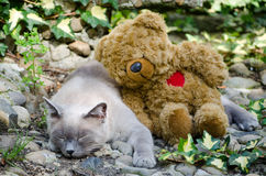 Cat and her best friend. Burmese cat and her best friend Royalty Free Stock Images