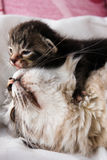 Cat and her kitten Royalty Free Stock Images