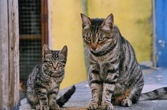 Cat and her kitten. A female tabby cat sits next to her male kitten in their natural setting Stock Photo