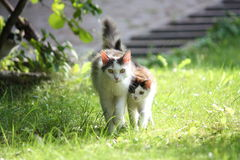 Cat with her kitten walking together in the garden. Three colored cat with her kitten walking together in the garden royalty free stock image