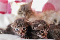 Cat and her kittens stock photography