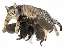 Cat and her kittens Royalty Free Stock Images
