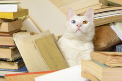 Cat with heterochromia iridum among bunch of books. Selective focus. Stock Photos