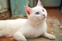 Cat with heterochromia. White cat with different eyes. Odd-eyed kitten. royalty free stock photos