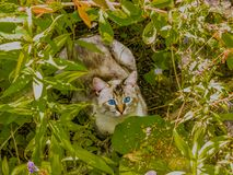The cat hid in the Bush. Gray blue-eyed cat hid in the Bush stock images