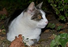 Cat. A cat hidden in a bush is watching a bird Royalty Free Stock Photography