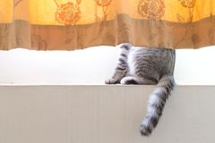 Cat hide inside the curtain showing half lower body Royalty Free Stock Images