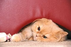 Cat hides under the red chair Stock Image