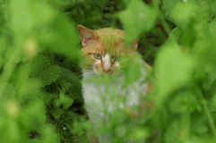 Cat in Hiding. An outdoor barn cat cautiously checks out the photographer Stock Photography