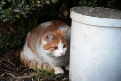 A cat is hiding behind a bucket and hunting for a mouse. Grass green kitten pet animal kitty lawn nature domestic summer feline fur outdoor look one spring eyes royalty free stock image