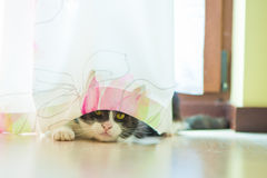 Cat hiding behind curtains Royalty Free Stock Image