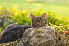 Cat hiding behind a rock. Domestic furry friend sneaking Royalty Free Stock Photos