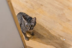 Cat hiding behind wall on wooden floor. In cat cafe Royalty Free Stock Images