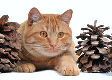 Cat hiding in big cones Stock Photography