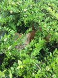Cat hiding in a bush. Royalty Free Stock Photos
