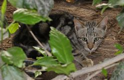 Cat hiding in the bushes. Picture of a small cat hiding in the bushes and looking at the camera. This picture was taken on the island of Sal, Cape Verde, Western Stock Image